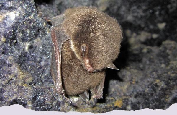 A Daubenton's bat